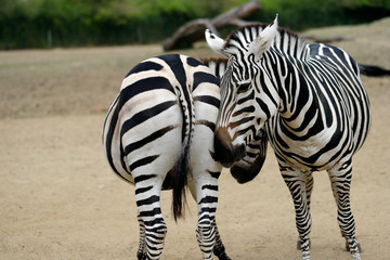 Couple of African striped coats zebras