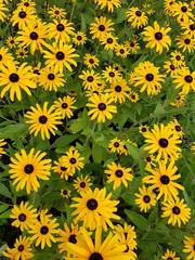 Printed kitchen splashbacks Sunflower Yellow flowers