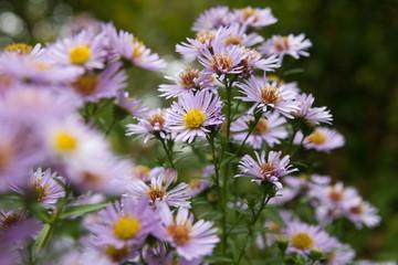 Purple Daisies in a Garden