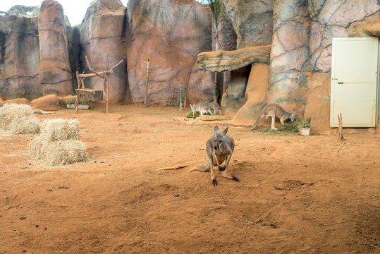 Family of australian kangaroos standing on the ground