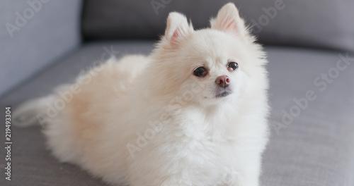 Pomeranian Dog Sitting On Sofa Stock Photo And Royalty Free Images
