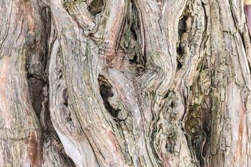 old sandalwood trunk closeup
