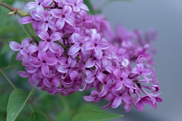 Printed roller blinds Lilac Lilac blooms in the garden. A beautiful bunch of lilac closeup.