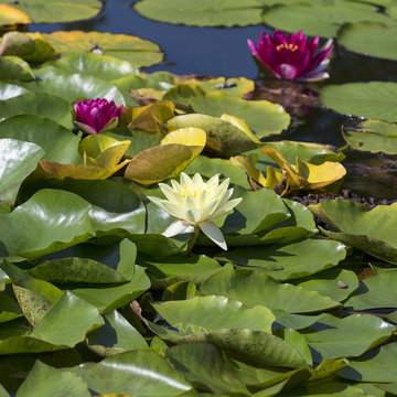 Pink and white flowers of nenuphar, (Water Lily) with leaves