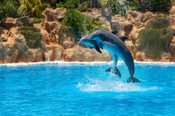 Show of beautiful dolphin jumps in zoo pool.