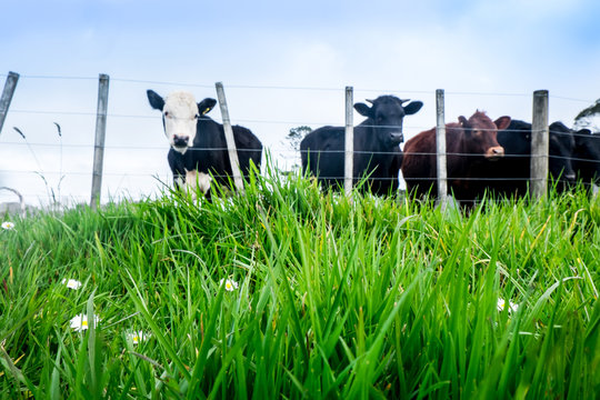Low angle with shallow depth of field: focus is on lush grass. Blurred beef cattle in background in North Island, New Zealand, NZ