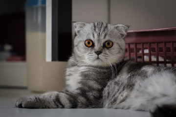 Scottish fold cat fur gray striped black.
