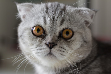 Scottish fold cat fur gray striped black.