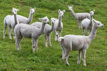 Herd of Alpacas in Hornindal, Norway.