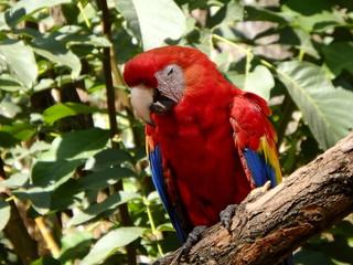 Scarlet macaw, (Ara macao), parrot