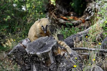 Portrait of nasua raccoon on the tree stump