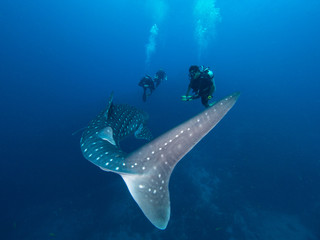 Tail of a Whale shark with divers