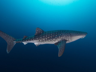 Whale shark from right side