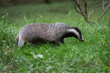 Badger in field