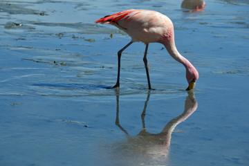 Bolive Flamingo