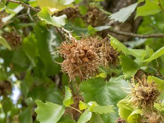 Corylus colurna. Le noisetier de Byzance ou noisetier de Turquie, la plus grande espèce de noisetiers ornementaux.