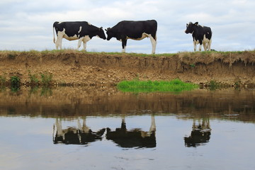 Wall Mural - British Friesian cows graze on the farmland around river Axe in East Devon