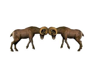 Mufflon mit großen Hörnern Kämpfen