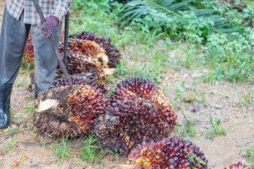 A man holding palm oil fruits