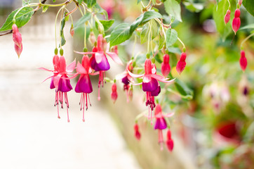 image of a Beautiful pink Fuchsia magellanica flowers on green tree background ,Hummingbird Fuchsia