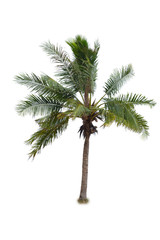 coconut tree tropical island plant isolated on white background
