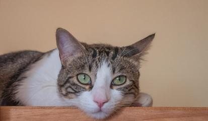 Gato (Macho) 4