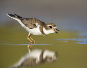 Semipalmated plover (Charadrius semipalmatus) defenting its territory on Florida beach.