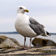 Möwe auf der Insel Rügen