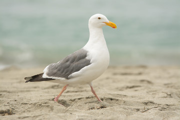 White seagull walking on sandy beach