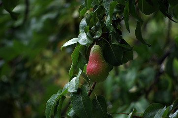 Raindrops On Pear