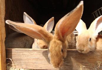 Obraz hodowla królików - fototapety do salonu