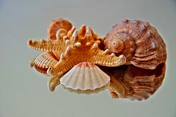 Sea Shells Of The Mirror