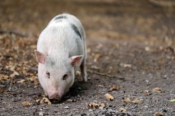Full body of black-white pig breed Vietnamese Pot-bellied