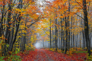 Colorful autumn landscapes with trees and orange, yellow and red leaves.Beautiful forest foggy road.