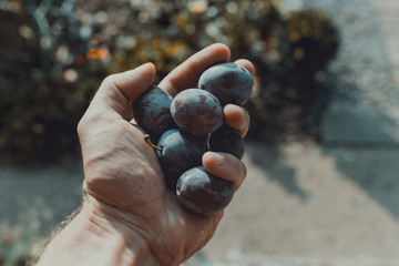 Man's hand  filed with ecological mature Hungarian plum, in the glare of the afternoon sun. First person perspective.