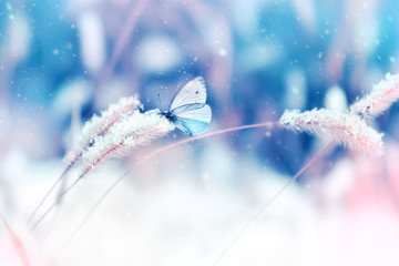 Beautiful butterfly in the snow on the wild grass on a blue and pink background. Snowing. Artistic winter christmas natural image. Selective and soft focus.