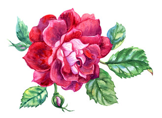 Rose burgundy color with a bud and leaves, watercolor drawing on a white background, isolated with clipping path.