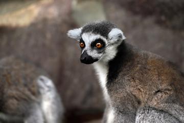 Portrait of ring-tailed lemur (catta)