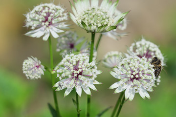 Astrantia major flowers in bloom