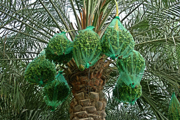 dates are covered with nets