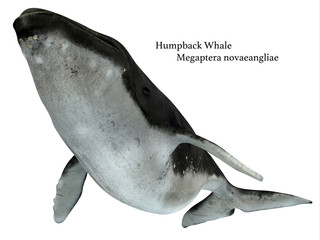 Humpback Whale Swimming - The Humpback is a baleen whale and many organisms hitch a ride on it such as these chin barnacles.
