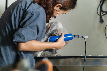 Female groomer cutting hair of cat at a salon in the beauty salon for cats