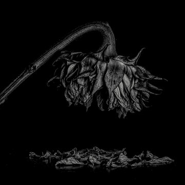 Selective focus on wilting sunflower symbolizing end of life- loneliness and sadness