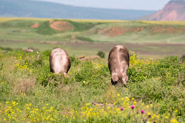 Dirty pigs are grazed in the field