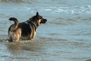 German Shepherd playing in the water.