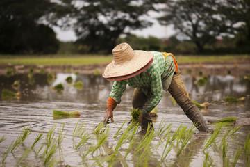 Farmer planted rice seedlings in the farm
