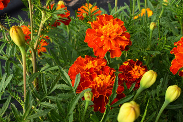 A red and brown terry flower tagetes on a green background. The yellow center of the flower and a thin yellow border on the petals.