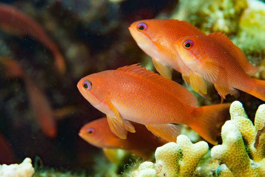 Scalefin Anthias Pseudanthias squamipinnis