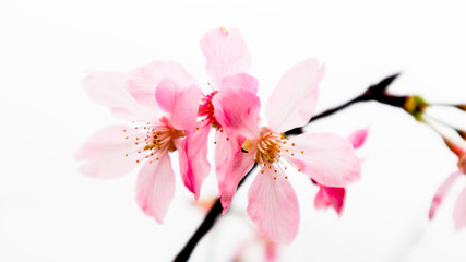 The cherry blossoms