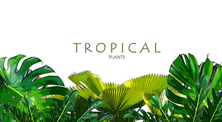 Tropical green leaves frame floral plant  monstera isolated  background